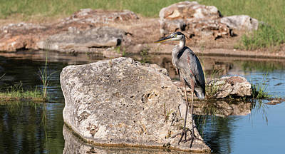 Photograph - Close Up Blue Heron by John Johnson