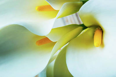 White Flower Photograph - Close Up Calla Lilies by Garry Gay