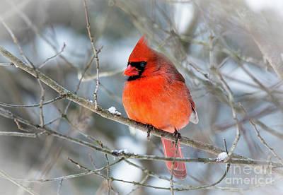 Photograph - Close Up Cardinal by Cheryl Baxter