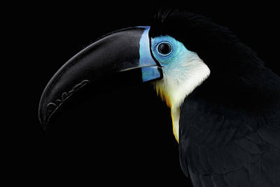 Close-up Channel-billed Toucan, Ramphastos Vitellinus, Isolated On Black Art Print