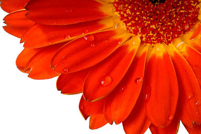 Close Up Detail Red Gerbera Daisy Art Print by Norman Pogson