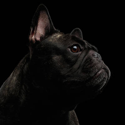 Dog Wall Art - Photograph - Close-up French Bulldog Dog Like Monster In Profile View Isolated by Sergey Taran