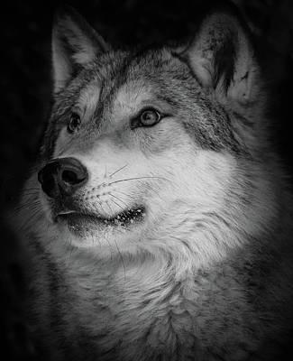 Photograph - Close Up Gray Wolf by Athena Mckinzie