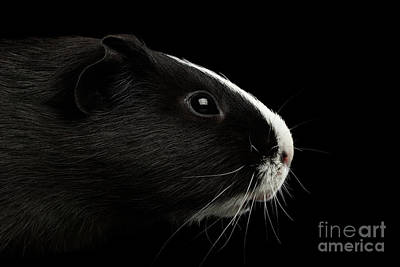 Close-up Guinea Pig On Isolated Black Background Art Print by Sergey Taran