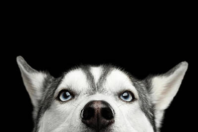 Photograph - Close-up Head Of Peeking Siberian Husky by Sergey Taran