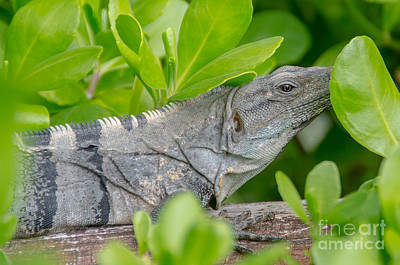 Photograph - Close Up Iguana by Cheryl Baxter