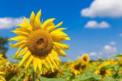 Close Up Of A Big Yellow Sunflower Print by Semmick Photo