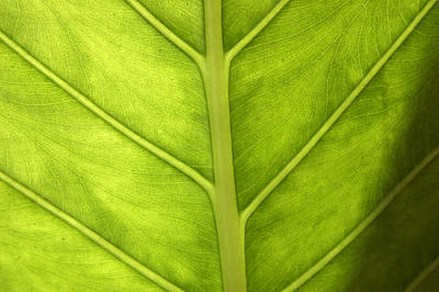 Close-up Of A Elephant Ear Art Print by Ralph A  Ledergerber-Photography