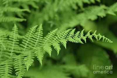 Photograph - Close Up Of A Fern Frond In A Wild Garden by DejaVu Designs