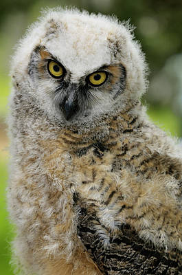 Owl Photograph - Close Up Of A Fledgling Great Horned Owl Chick With A Sad Look by Reimar Gaertner