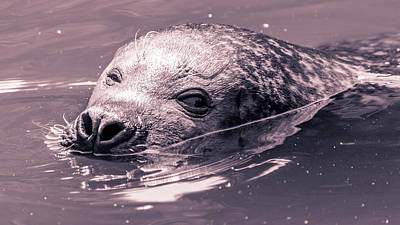 Photograph - Close Up Of A Harbor Seal Swimming by Jacek Wojnarowski