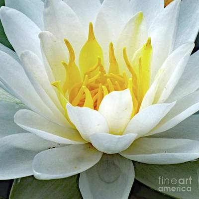 Beaches And Waves Rights Managed Images - Close Up Of A Lotus Royalty-Free Image by Cindy Treger