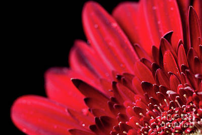 Gerbera Daisy Photograph - Close Up Of A Red Gerbera Daisy Flower by Edward Fielding