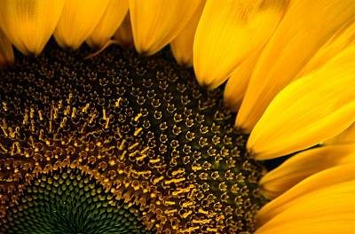 Close-up Of A Sunflower Print by Todd Gipstein