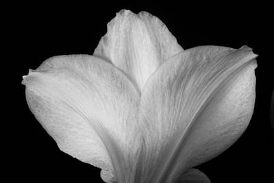 Photograph - Close-up Of Amaryllis Flower Petals Bw by James BO Insogna