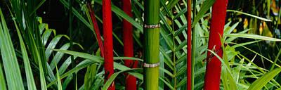 Bamboo Photograph - Close-up Of Bamboo Trees, Hawaii, Usa by Panoramic Images