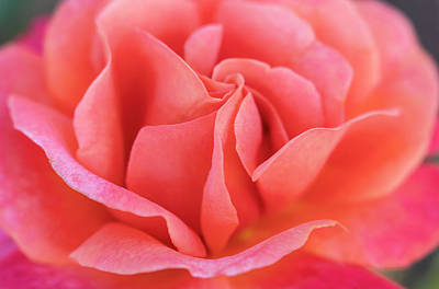 Photograph - Close Up Of Big Peach-pink Rose Bloom by Barbara Rogers Nature Inspired Art Photography