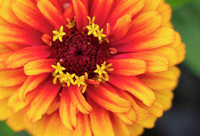 Photograph - Close-up Of Big Vibrant Zinnia Flower by Barbara Rogers Nature Inspired Art Photography