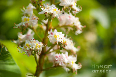 Close-up Of Blooming Aesculus On Green  Art Print