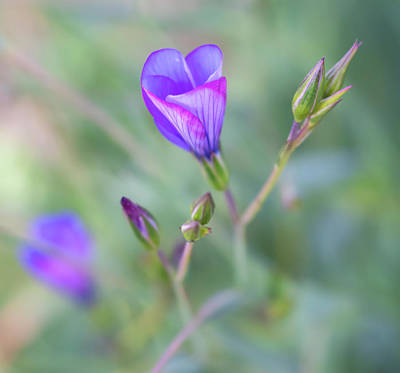 Photograph - Close Up Of Blue Flax Wildflower About To Open by Barbara Rogers Nature Inspired Art Photography