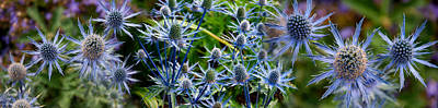 Close-up Of Blue Thistle Flowers Art Print by Panoramic Images