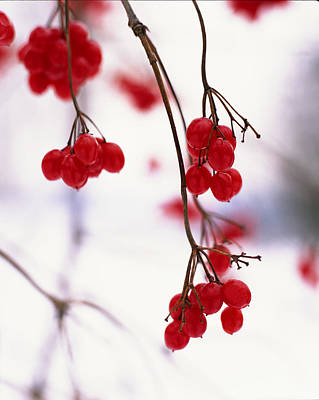 Red Berries Photograph - Close-up Of Branches With Red Berries by Gillham Studios
