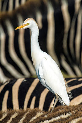 Cattle Egret Photograph - Close-up Of Cattle Egret Bubulcus Ibis by Panoramic Images