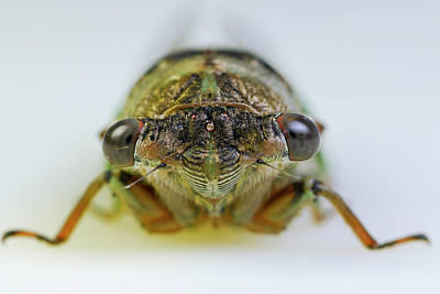 Insect Photograph - Close Up Of Cicada Face On White Background by Reimar Gaertner