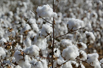 Focus On Foreground Photograph - Close-up Of Cotton Plants In A Field by Panoramic Images