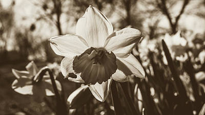 Art Print featuring the photograph Close Up Of Daffodil Flower by Jacek Wojnarowski