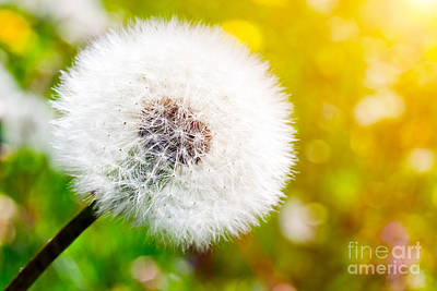 Stems Photograph - Close-up Of Dandelion On Green Sunny Meadow by Michal Bednarek
