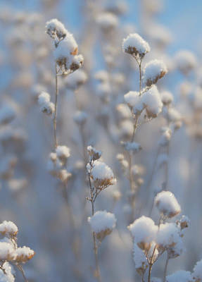 Photograph - Close Up Of Delicate Snow Covered Dried Summer Flowers by Barbara Rogers Nature Inspired Art Photography