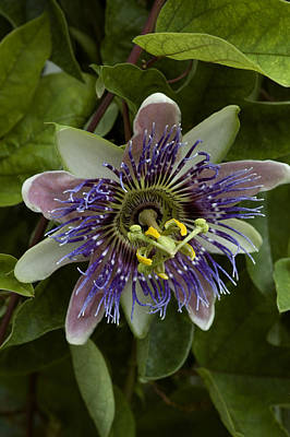 Close-up Of Exotic Purple Flower Art Print by Todd Gipstein