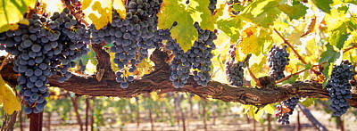 Close-up Of Grapes In A Vineyard, Napa Art Print by Panoramic Images