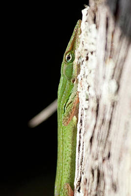 Photograph - Close-up Of Green Anole by Sandy Swanson