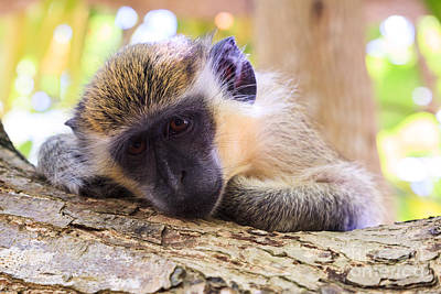 Cute Tree Images Photograph - Close Up Of Green Monkey - Barbados by Matteo Colombo