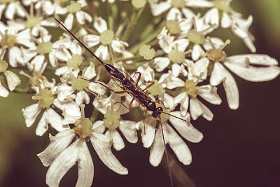 Photograph - Close Up Of Insect On Cow Parsley B by Jacek Wojnarowski