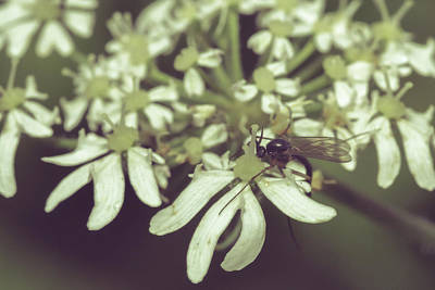 Photograph - Close Up Of Insect On Cow Parsley C by Jacek Wojnarowski