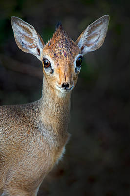 Close-up Of Kirks Dik-dik Madoqua Art Print