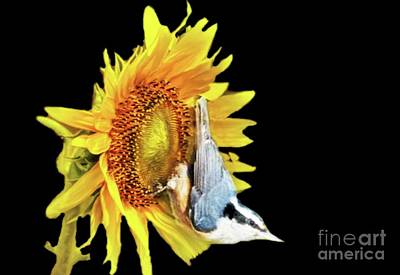 Digital Art - Close Up Of Nuthatch On Sunflower by Janette Boyd