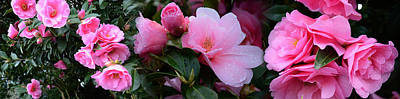 Close-up Of Pink Camellia Flowers Art Print by Panoramic Images