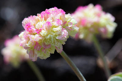 Photograph - Close-up Of Pink Cushion Buckwheat Or Eriogonum Ovalifolium by Astrid Hinderks