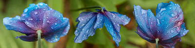 Close-up Of Raindrops On Blue Flowers Print by Panoramic Images
