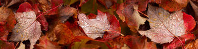 Close-up Of Raindrops On Maple Leaves Art Print by Panoramic Images