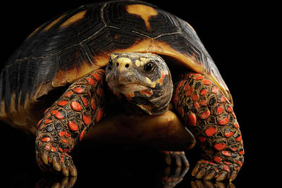 Reptile Photograph - Close-up Of Red-footed Tortoises, Chelonoidis Carbonaria, Isolated Black Background by Sergey Taran