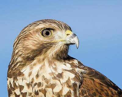 Photograph - Close-up Of Red-shouldered Hawk by Dawn Currie