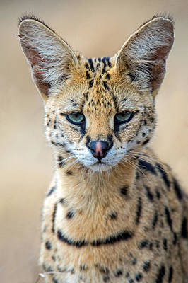 Close-up Of Serval Leptailurus Serval Art Print by Panoramic Images