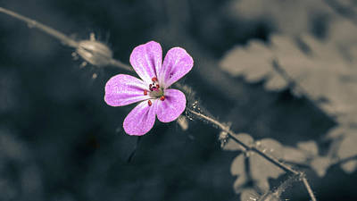 Photograph - Close Up Of Shining Cranesbill B Isolated by Jacek Wojnarowski