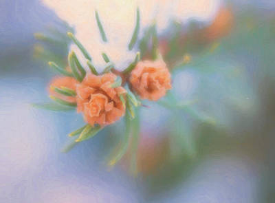 Photograph - Close Up Of Snow Covered Pine Needles With Buds by Barbara Rogers