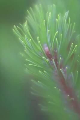 Photograph - Close-up Of Summer Green Pine Tree Limb by Barbara Rogers